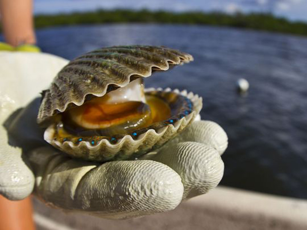 Scalloping in Crystal River